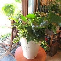 観葉植物のおまかせ寄せ植え(FrenchTinラウンドホワイトブリキポット鉢植え)Mサイズ