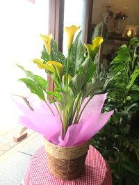 カラー5号鉢サイズ鉢植え選べる花色ピンク系イエロー系