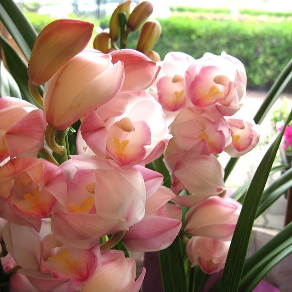 シンビジューム 3本立ち以上 鉢植え 洋蘭 洋ラン 送料無料 薫る花 シンビジウム シンピジューム シンピジウム フラワー 鉢花 花鉢 お歳暮 御歳暮
