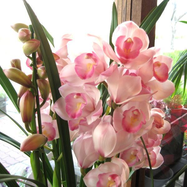 シンビジューム 4本立ち以上 鉢植え 洋蘭 洋ラン 送料無料 薫る花 シンビジウム シンピジューム シンピジウム フラワー 鉢花 花鉢 お歳暮 御歳暮