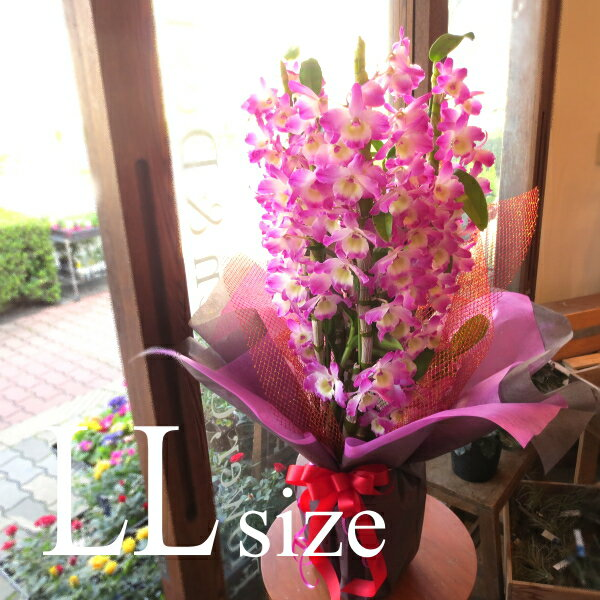 デンドロビューム LLサイズ 鉢植え ゴージャスで華やか 洋蘭 洋ラン 送料無料 薫る花 デンドロビウム フラワー 鉢花 花鉢 お歳暮 御歳暮