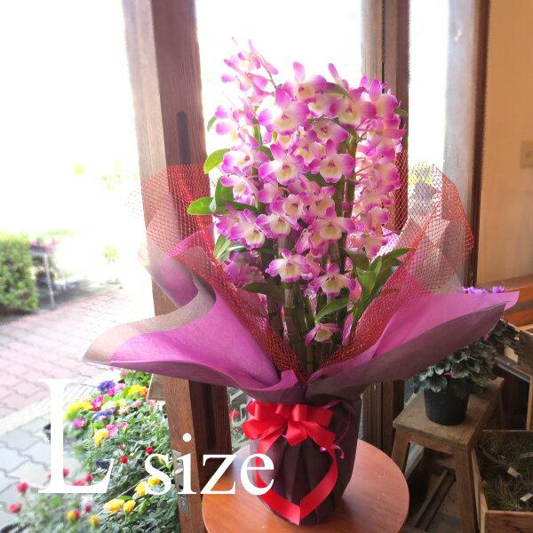 デンドロビューム Lサイズ 鉢植え 贈り物なら是非このクラスで 洋蘭 洋ラン 送料無料 薫る花 デンドロビウム フラワー 鉢花 花鉢 お歳暮 御歳暮