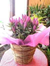 リンドウメルヘンアシロ5号鉢サイズ鉢植え