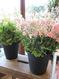ウィンティー5号鉢サイズ鉢植え選べる花色プリムラマラコイデスサクラソウサントリーフラワーズ