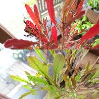ドドナエアビスコーサプルプレアポップブッシュ5号鉢サイズ鉢植え
