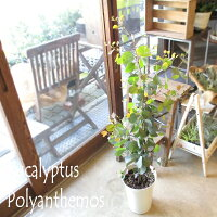 ユーカリポポラス7号鉢サイズ鉢植え丸葉ユーカリハートリーフユーカリポポラス
