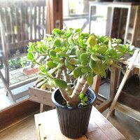 お金のなる木花月成金草5号鉢サイズ鉢植え