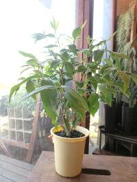 ハーブレモンマートルの木4号鉢サイズ鉢植え