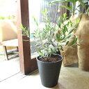 オリーブの木 2品種植え 7号鉢サイズ 黒色 セラアート鉢 ブラック 鉢植え 苗木 送料無料 薫る花 庭木 シンボルツリー …
