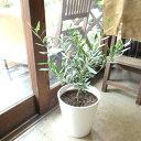 オリーブの木 2品種植え 7号鉢サイズ 白色 セラアート鉢 ホワイト 鉢植え 苗木 送料無料 薫る花 庭木 シンボルツリー …