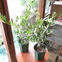 2品種セット オリーブの木 4号鉢サイズ 鉢植え 苗木 送料無料 薫る花 庭木 シンボルツリー 常緑樹 中型 小型