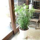 シマトネリコ 8号鉢サイズ 白色 セラアート鉢 鉢植え 送料無料 薫る花 庭木 シンボルツリー 常緑樹 大型 中型 ホワイ…