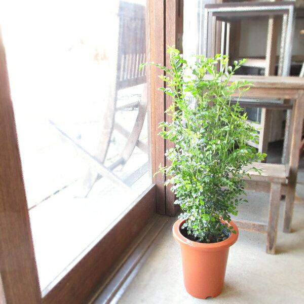 シマトネリコ 6号鉢サイズ 鉢植え 送料無料 薫る花 庭木 シンボルツリー 常緑樹 中型 小型