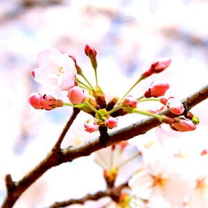 パイオニア企画桜のつぼみ10個