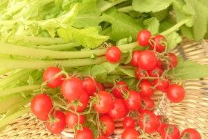 愛知県産 マイクロトマト