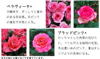 河田ばら園で育てているバラです04誕生日花母女性男性ギフト父誕生日プレゼント退職祝い結婚記念日