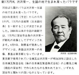 渋沢栄一生誕の地で生まれ育ったバラです誕生日花母女性男性ギフト父誕生日プレゼント退職祝い結婚記念日