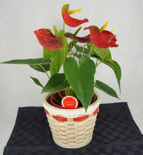 【季節の花鉢】アンスリュームアンスリウムアンセリュームアンセリウム観葉植物赤5号【バスケット付】