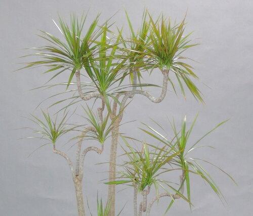 開店祝移転祝新築祝観葉植物人気ドラセナ属ソングオブインディオ