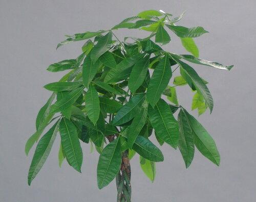 開店祝移転祝観葉植物一番人気パキラ発財樹