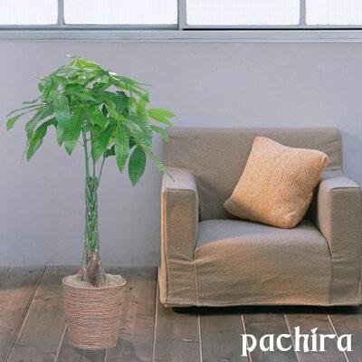 開店祝移転祝観葉植物一番人気パキラ発財樹8号胡蝶蘭開店祝い激安