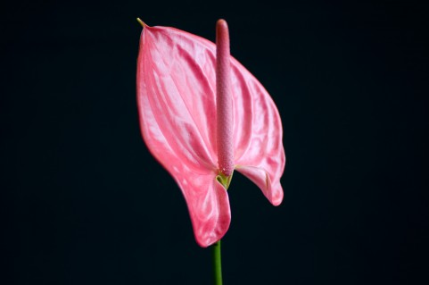 【季節の花鉢】アンスリュームピンク5号【バスケット付】アンスリウム観葉植物アンセリュームアンセリウム