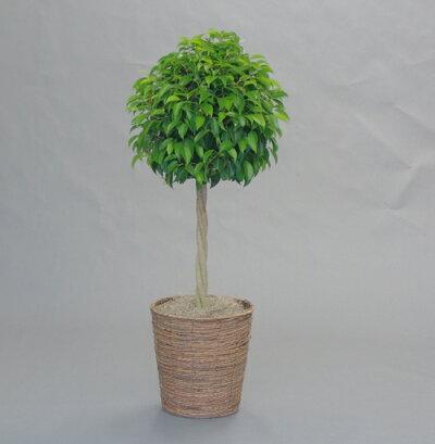ベンジャミントピアリーバスケット付き観葉植物ギフト