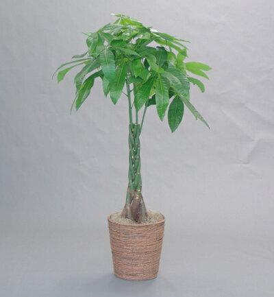 開店祝移転祝観葉植物一番人気パキラ発財樹8号
