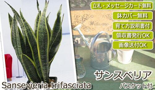 新築祝開店祝移転祝観葉植物人気サンスベリア5号バスケットつき