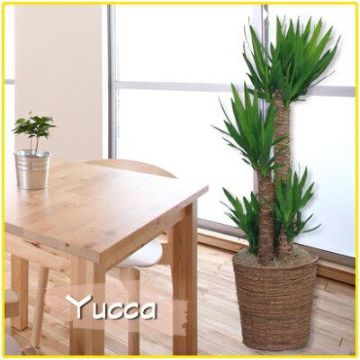 新築祝開店祝移転祝観葉植物人気マッサン「幸福の木」ユッカ「青年の木」8号鉢カバー付
