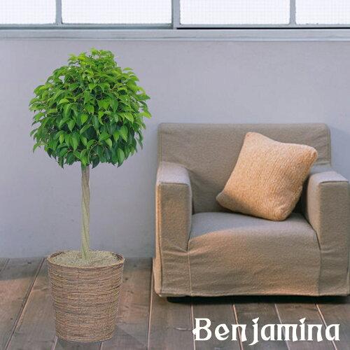 新築祝開店祝移転祝観葉植物人気ベンジャミントピアリー8号鉢カバー付