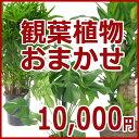 観葉植物おまかせ10,000円 お祝い ギフト 開店祝い 移転祝い 就任祝い 内祝い