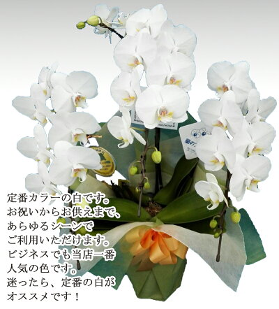 マイクロミディコチョウランミニ胡蝶蘭ミディ胡蝶蘭開店祝い