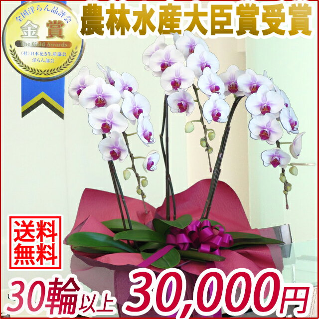 胡蝶蘭(コチョウラン)大輪 赤リップ 3本立ち 30輪以上 【ご予約対象商品】【送料無料】(10)