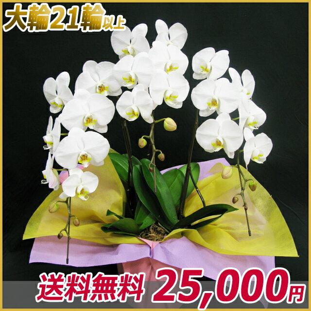 胡蝶蘭(コチョウラン) 大輪 白 3本立ち 21輪以上 【ご予約対象商品】【送料無料】(14)