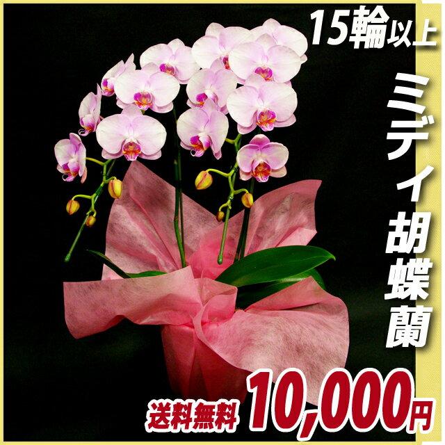 ▲胡蝶蘭(コチョウラン) ミディ ピンク 2本立ち 15輪以上 【送料無料】(17)