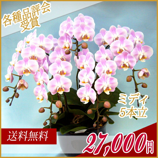 胡蝶蘭(コチョウラン) ミディ ピンク 5本立ち 贈り物 花 【ご予約対象商品】【送料無料】(29)