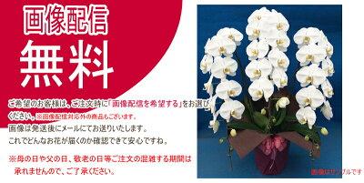 胡蝶蘭(コチョウラン)大輪白3本立ち30輪以上【ご予約対象商品】【送料無料】(9)
