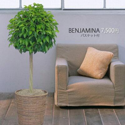 新築祝開店祝移転祝観葉植物人気ベンジャミントピアリー8号鉢カバー付胡蝶蘭開店祝い激安