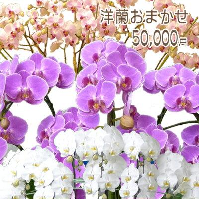 おまかせ洋蘭/店長オススメ/旬の洋蘭/送料無料/コチョウラン