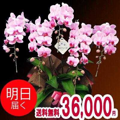 ミディ胡蝶蘭(コチョウラン)5本立ち【送料無料】【あす楽_年中無休】