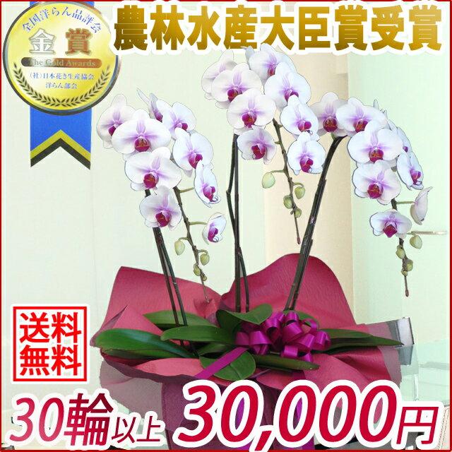 胡蝶蘭(コチョウラン)大輪赤リップ3本立ち30輪以上【ご予約対象商品】【送料無料】(10)