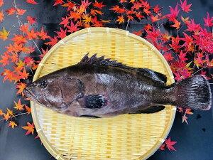 マハタ 1尾 (活〆) 約1.5kg〜1.8kg 【 まはた 真羽太 高級魚 一尾 しゃぶしゃぶ 刺身 海鮮鍋 新鮮 おすすめ 人気 ギフト 贈答 国産 お中元 正月 お歳暮 御祝 内祝 送料無料 】