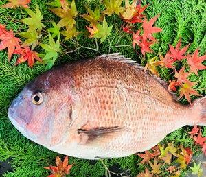 特大真鯛 1尾 (養殖活き〆) 2.5kg前後 【 マダイ 鯛 タイ 高級魚 一尾 鯛しゃぶ しゃぶしゃぶ 刺身 海鮮鍋 鯛めし 新鮮 海鮮 グルメ おいしい 人気 ギフト 贈答 お中元 正月 御歳暮 お歳暮 御祝