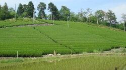 菊之園の【白川番茶】