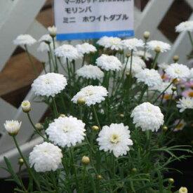マーガレット モリンバ ミニダブルホワイト 9cmポット苗