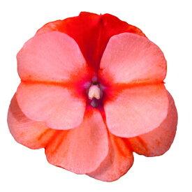 ガーデンニューギニアインパチェンス インパシオ オレンジスター 9cmポット苗