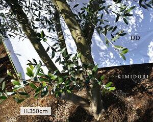 国産 オリーブ DD 植木 庭木 大型 約350cm オリーブの木 ナチュラル ガーデニング エクステリア 外構 シンボルツリー