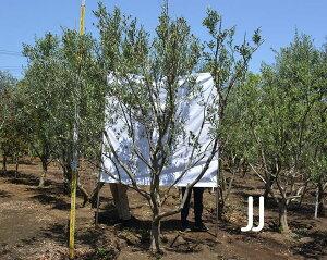 国産 オリーブ JJ 現品 植木 庭木 大型 約300cm オリーブの木 シンボルツリー 洋風 目隠し ガーデニング エクステリア 園芸 庭植え 記念樹