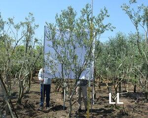 国産 オリーブ LL 現品 植木 庭木 大型 約320cm シンボルツリー 洋風 目隠し オリーブの木 ガーデニング エクステリア 園芸 庭植え 記念樹